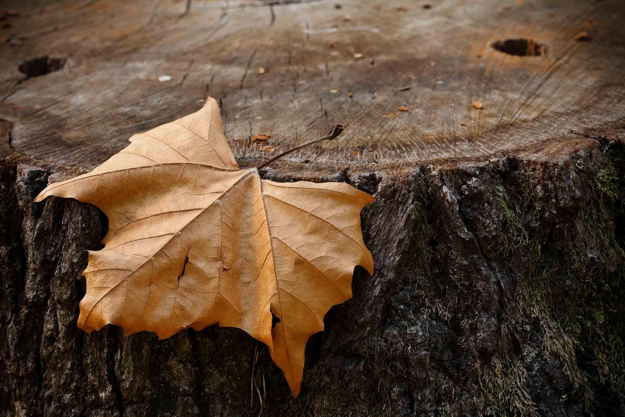 Crisp Orange Maple Leaf on Tree Stump